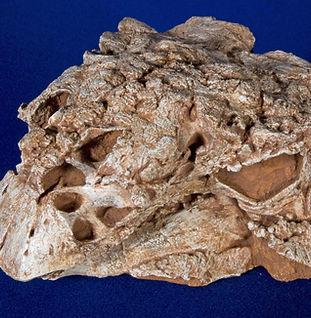 pinacosaurus_large_DSC_6929.JPG