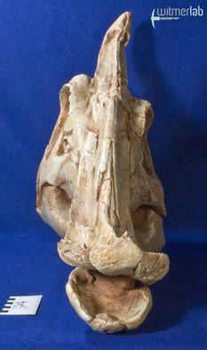 saurolophus_DSC_0807.JPG