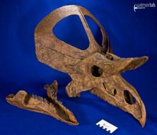 zuniceratops_DSC_2660.JPG