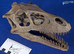 Dromaeosaurus_DSC_8514.JPG