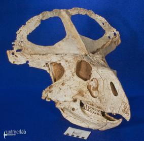 protoceratops_DSC_2242.JPG