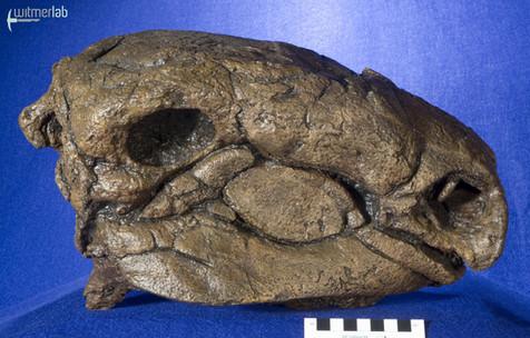 Panoplosaurus_DSC_7459.JPG