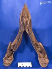 zuniceratops_DSC_2632.JPG