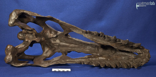 gorgosaurusROM_DSC_1534.JPG