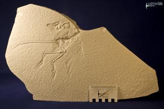 archaeopteryx_sp_DSC_8543.JPG