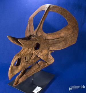 zuniceratops_DSC_2454.JPG