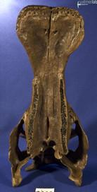 edmontosaurus_DSC_1050.JPG
