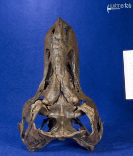 tyrannosaurus_stan_DSC_8807.JPG