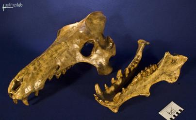 archaeotherium_DSC_0706.JPG