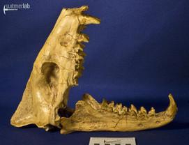 hyaenodon_DSC_0335.JPG