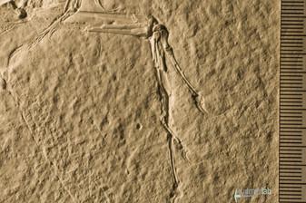 archaeopteryx_sp_DSC_8433.JPG