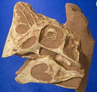 oviraptor_DSC_7781.JPG
