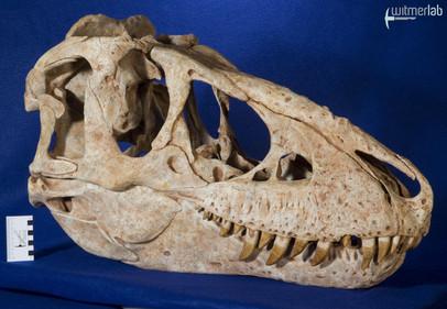 tarbosaurus_DSC_9125.JPG