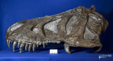 tyrannosaurus_AMNH_DSC_9513.JPG