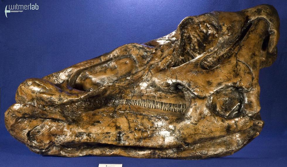 edmontosaurus_DSC_9785.JPG