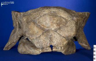 ankylosaurus_DSC_7110.JPG
