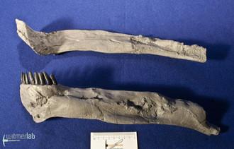 apatosaurus_DSC_1836.JPG
