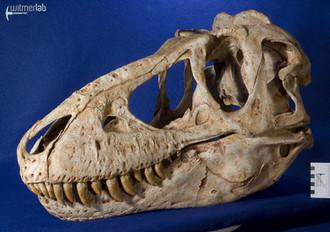 tarbosaurus_DSC_9112.JPG