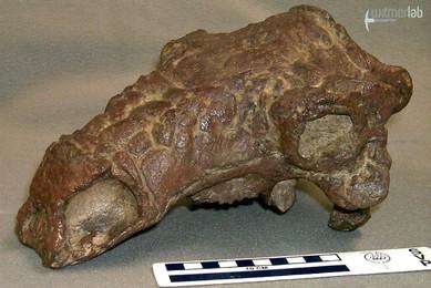Pawpawsaurus.JPG