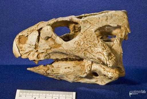 auroraceratops_DSC_1167.JPG