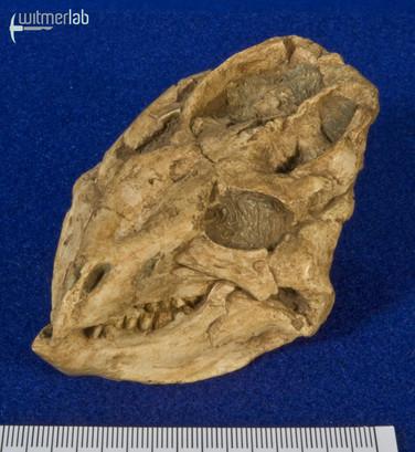 liaoceratops_DSC_0866.JPG
