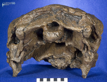 Panoplosaurus_DSC_7467.JPG