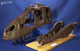 gorgosaurusROM_DSC_1489.JPG