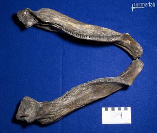 ankylosaurus_DSC_7088.JPG