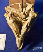 archaeoceratops_DSC_1253.JPG