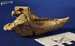 archaeoceratops_DSC_1445.JPG