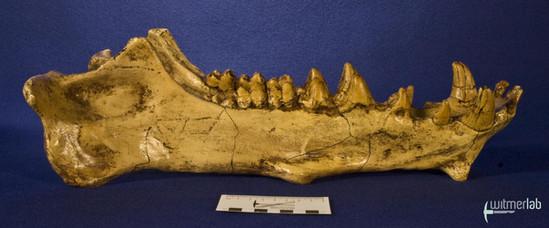 archaeotherium_DSC_0733.JPG