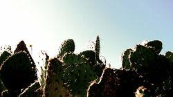 prickly cactus fans 3