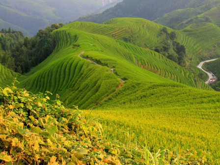September is coming, the rice on the top of Longji Rice Terrace is getting yellow and yellow! The b
