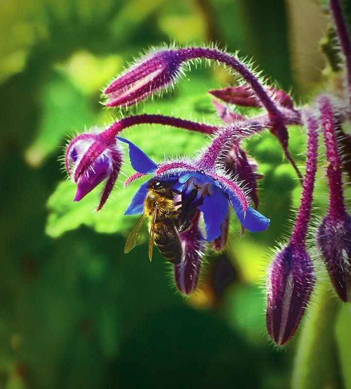 Borretsch und Bienen