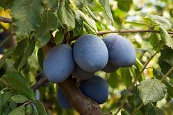 emporer fruit on tree.jpg