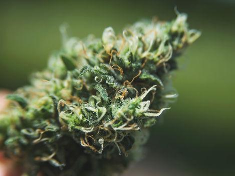 marijuana-6PHGWBF.jpg