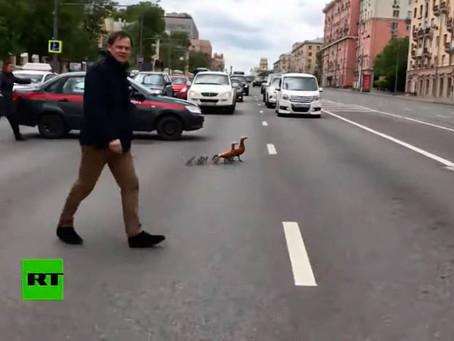 Salvar patos: el trabajo más enriquecedor de la Guardia Nacional de Rusia