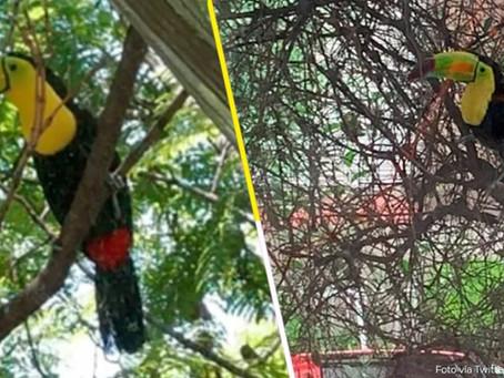 ¿Ustedes ya lo vieron? Un tucán anda volando libremente por las calles de la CDMX