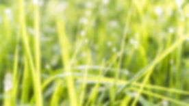 grass-green-water-grass-family-moisture-