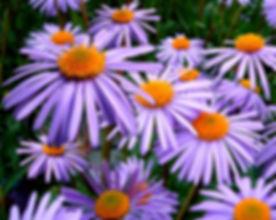 blossom-plant-flower-petal-bloom-daisy-1