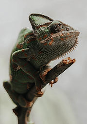 yemen-chameleon-chamaeleo-calyptratus-ch