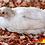 Thumbnail: Galinha ovos azuis - Ovos férteis (1un)