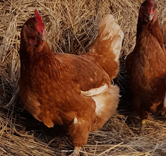 Edith and poultry, egg and hen pics Nov