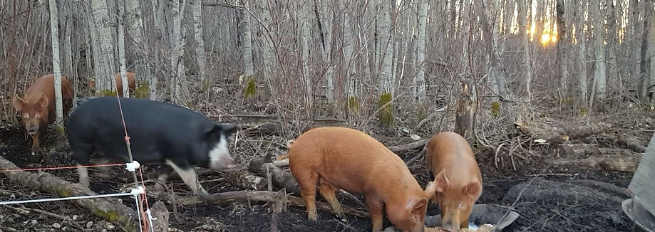 Pigs coming in for feeding.jpg