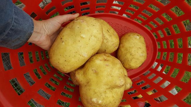 Giant Yukon Gold potatoes Sep 2016 002.j