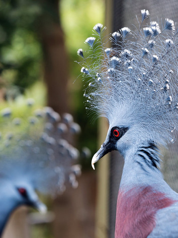 queen-victoria-pigeon-shows-off-feathers