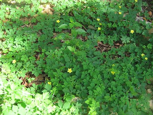 Cerasee Leaves