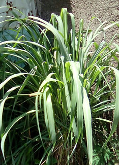 LEMONGRASS+FEVERGRASS PLANT PHOTO.jpg