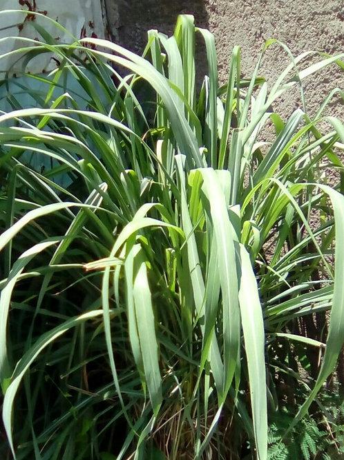 Lemongrass/ Fevergrass Leaves