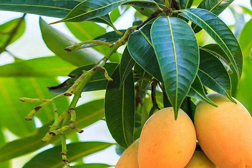 Mango Leaf Teabags